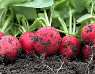 Для вирощування редиски непридатні важкі та піщані ґрунти