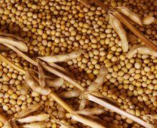 Урожай сої через борошнисту росу зменшується на 10-15%