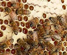 Пасіка на Полтавщині почала продавати бджолопакети