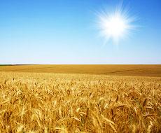 Зібрано 24 млн тонн пшениці та 7 млн тонн ячменю