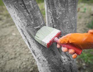 Дерева волоського горіху білять, аби запобігти морозобоїнам