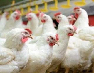 За сім місяців поголів'я птиці зросло на 4,5%