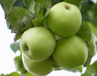 Які сорти яблуні мають щільніший м'якуш у знімальній стиглості