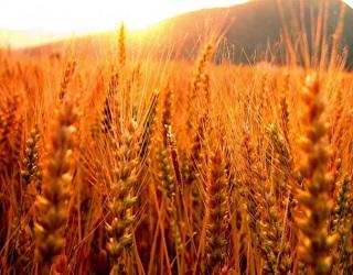 «Агро-Регіон» зробив ставку на озиме жито на піщаних ґрунтах