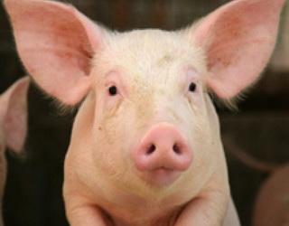 На Вінничині відкриють сучасний свинокомплекс