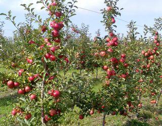 Які вегетативні підщепи яблунь стійкі до фітофторозу