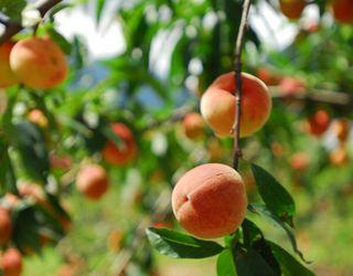 Українські садівники цього сезону мали труднощі з реалізацією персиків