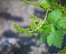 Додаткове запилення винограду виконують двічі