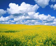 Українські аграрії дотримуються регулярного сортооновлення озимого ріпаку, – дослідження