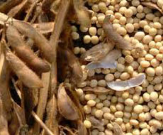 Коливання вологості ґрунту та вітряна дощова погода сприятиме розвитку антракнозу сої