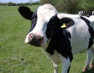 Для профілактики флегмони вінчика у корів треба стежити за чистотою ратиць