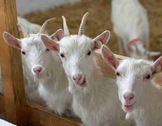 У перший тиждень після окоту з раціону кози виключають соковиті корми