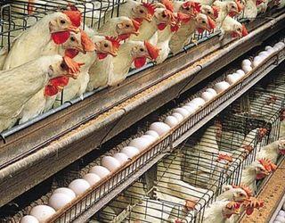 Як запобігти появі кров'яного яйця в птиці