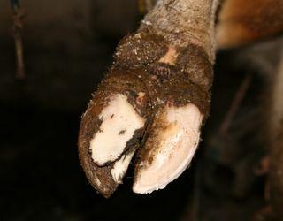 Найчастіше ламініт підстерігає корів після важкого отелення
