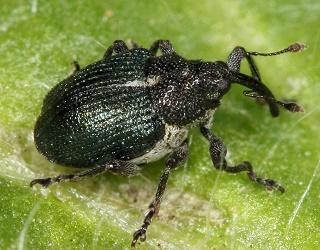 Протруювання насіння інсекто-фунгіцидами зменшує чисельність ґрунтових шкідників на 70-75%