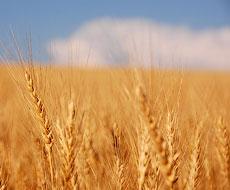 «Велетень» посіє озиму пшеницю на площі близько 2 тис. га