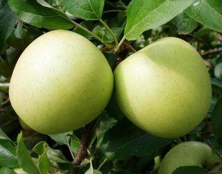 Які сорти яблук найбільше уражує борошниста роса