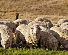 Саудівська Аравія вивчає можливості експорту української великої та дрібної рогатої худоби
