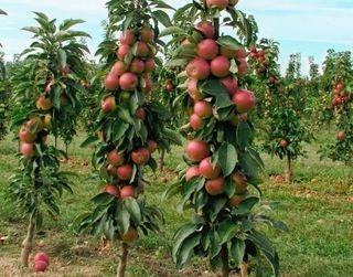 Поширення садів колоноподібних яблунь стримують високі витрати на садивний матеріал