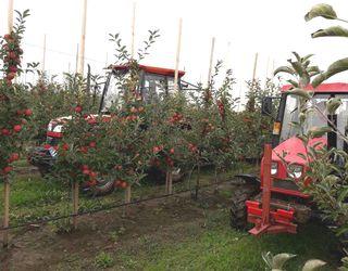 «Гадз» розпочав збирання яблук осінніх сортів