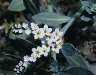 Яка доза насіння геліотропу спричинює отруєння курей