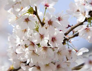 Запилення черешні за допомогою бджіл збільшує врожай на 98,4%