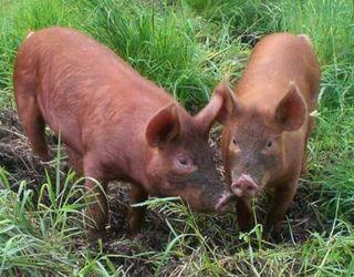 Нова данська компанія має амбітні плани зі створення  ефективної племінної програми у свинарстві