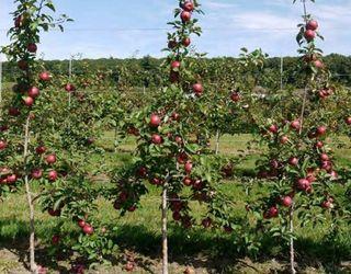 Яблуневий сад на підщепі М9 потребує достатньої кількості води