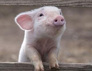 Закупівельні ціни на живець свиней опустяться нижче 48 грн/кг