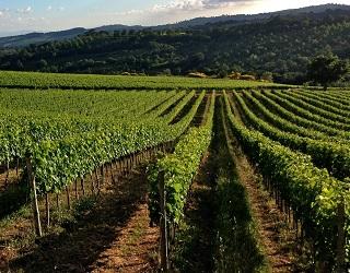 Як боротися з оїдіумом на органічних виноградниках