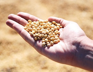 Обсяг недобору врожаю сої через хвороби залежить від різних чинників