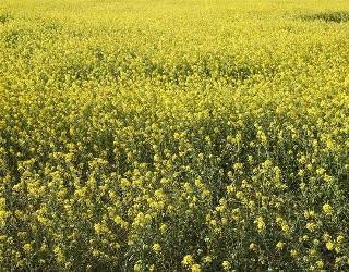 Падалиця озимих зернових пригнічує ріст і розвиток гірчиці