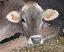 Низький уміст сірки в коров'ячому молоці може посилити брак білка