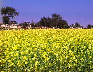Пряме комбайнування гірчиці проводять за вологості насіння 12-15%