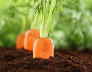 Глибокий обробіток ґрунту не пошкоджує кореневу систему моркви