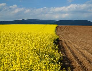Тонна насіння ріпаку виносить з ґрунту 10 кг сірки