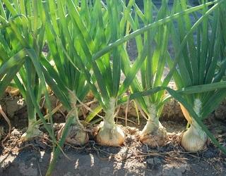 Насінники цибулі вибагливі до вологості ґрунту