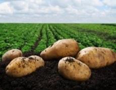 Фітофтороз картоплі розвивається інтенсивніше в прохолодному і вологому ґрунті