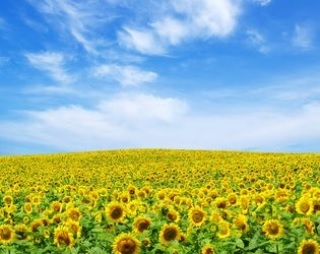 Соняшник добре пристосовується до різних ґрунтів