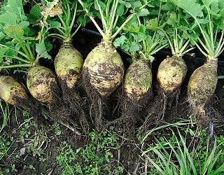 Бруква добре переносить підвищену кислотність ґрунту