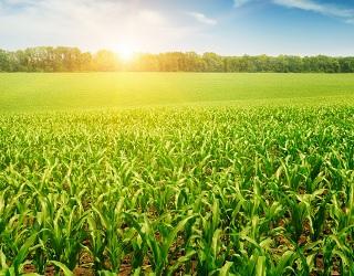 Оптимальним терміном сівби цукрової кукурудзи є І-ІІІ декада травня