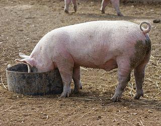 Собівартість комбікормів для свиней можна знизити, використовуючи ферменти