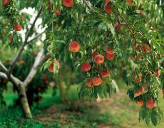 Для персика найбільш небезпечне ураження клястероспоріозом пагонів і гілок