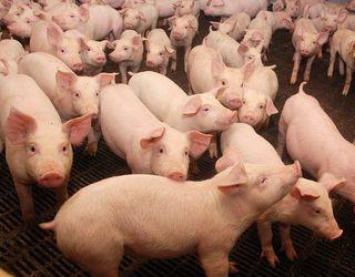 Ціна на живець свиней опустилася до 45 грн/кг