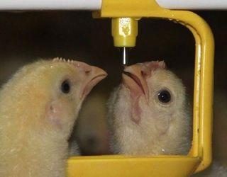 У лінії напування птиці не рекомендується використовувати пом'якшувачі