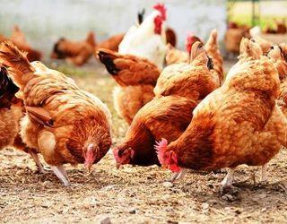 Білок жита краще збалансований за незамінними амінокислотами, ніж білок пшениці