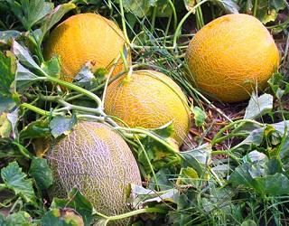 Хелатні сполуки підвищують схожість насіння дині