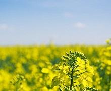 Дефіцит фосфору може спричинити карликовість озимого ріпаку