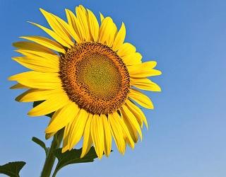Урожайність соняшнику на зрошенні зростає в 1,5 раза
