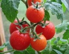 Щеплення з дикорослою підщепою допомагає боротись із хворобами на органічних томатах